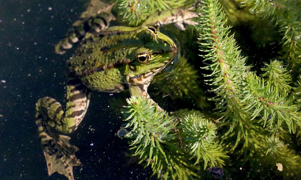 grenouille ou crapeau